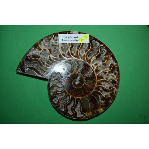 Fossilized Half Ammonite b